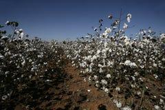 Cotton Stock Image