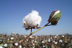 Cotton boll. On cotton branch Royalty Free Stock Image