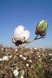 Cotton boll. On cotton branch Stock Photos