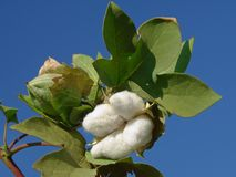 Cotton boll. Open cotton boll and closed one with leaves on the branch Stock Images