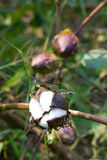 Cotton boll. Mature cotton bolls in the fields Stock Images