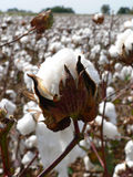 Cotton Boll 2. Cotton ripens in the fall in the southern United States Royalty Free Stock Photography