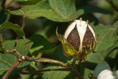 Cotton Boll. Five lobed boll of a cotton plant Royalty Free Stock Photography