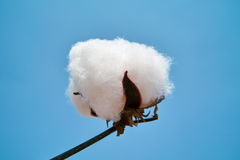 Cotton boll. Again blue sky Stock Photos
