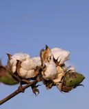 Cotton Boll. Cotton stalk with a cluster open and unopen bolls creating cotton clouds in an unclouded blue sky Stock Photo