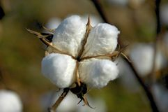 Cotton Boll 3. Close-up of cotton boll in the field Royalty Free Stock Photos