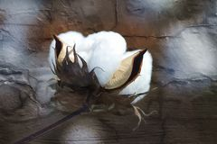 Cotton Boll Art With Grunge Texture. This is a fluffy white cotton boll that I painted digitally and used a grunge texture layer on Royalty Free Stock Photography