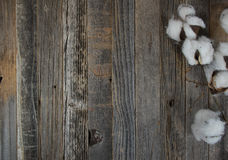 Cotton boll branch on wood. Fluffy cotton boll branch on rustic old wood Royalty Free Stock Photography
