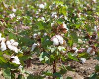 Cotton boll. The cotton boll a closeup Stock Image
