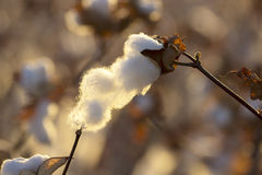 Cotton boll. Cotton dried boll in the cotton plant Stock Photography