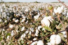 Cotton Boll Farm Field Texas Agriculture Cash Crop. Close up of an opening cotton boll in the field Royalty Free Stock Images