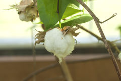 Cotton boll growing. Organic cotton plant, stock photo Stock Photography