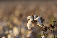 Cotton boll. In the cotton plant Royalty Free Stock Image