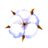 Cotton boll. Cotton plant. Watercolor illustration on a white background Royalty Free Stock Photo