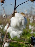 Cotton Boll w/ Shallow DOF. A closup of a ripe cotton boll in a cotton field with a shallow DOF to highlight the boll Stock Photography