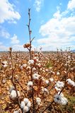 Cotton Bolls. Ripe Cotton Bolls On Branch Ready For Harvests Royalty Free Stock Photo