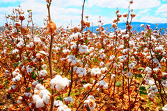 Cotton Bolls. Ripe Cotton Bolls On Branch Ready For Harvests Stock Photography
