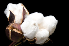 Cotton Bolls. The fluffy bolls of the cotton plant Stock Image