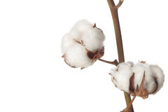 Cotton bolls. Closeup of cotton bolls on white background Stock Image