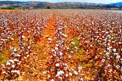 Cotton Bolls Royalty Free Stock Photography