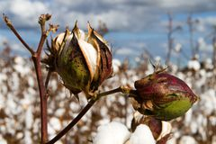 Cotton Bolls. Close up of two cotton bolls growing on the stem in a field of cotton plants that is close to harvest time Stock Image