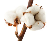 Cotton bolls. Closeup cotton bolls isolated on white background Stock Photos