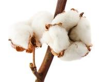 Cotton bolls Stock Photos