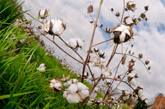 Cotton bolls. In a field .ready to be picked Royalty Free Stock Images