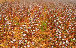 Cotton Bolls Royalty Free Stock Image