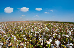 Cotton Bolls Stock Image