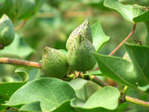 Cotton bolls Stock Photo