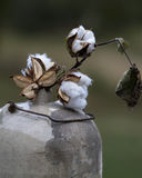 Cotton Bolls in Antique Moonshine Jug. These are cotton bolls, Gossypium hirsutum, sitting in a antique crock moonshine jug with a wire bale stock photos