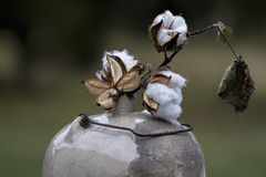 Cotton Bolls in Antique Moonshine Jug 2 Royalty Free Stock Image