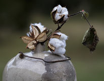 Cotton Bolls in Antique Moonshine Jug 5. These are cotton bolls, Gossypium hirsutum, sitting in a antique crock moonshine jug with a wire bale royalty free stock image