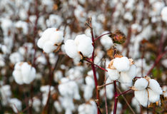 Cotton bolls on branch Royalty Free Stock Photo