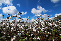 Cotton bolls in cotton field on beautiful day. With blue sky and clouds Royalty Free Stock Photos