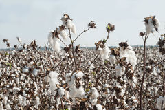 Cotton Bolls Field. Field with white cotton bolls Stock Image