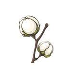 Cotton bolls . Royalty Free Stock Photo