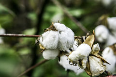 Cotton bolls on plant Royalty Free Stock Images