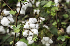 Cotton bolls on plants in field prior to harvest. Ripe cotton bolls on the plants prior to harvest in Alabama Stock Images