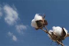 Cotton Branch Royalty Free Stock Images