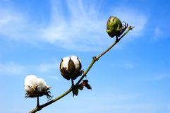 Cotton branch against sky Stock Image