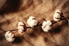Cotton branch on jute background. Above view royalty free stock photos