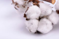 Cotton branch on white background royalty free stock images
