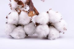 Cotton branch on white background stock photography