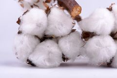 Cotton branch on white background royalty free stock photo