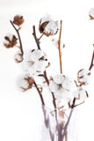 Cotton branches Royalty Free Stock Photography