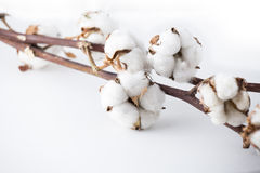 Cotton branches Royalty Free Stock Image