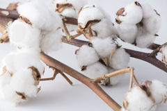 Cotton branches Stock Images