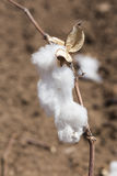Cotton on the bud Royalty Free Stock Photography